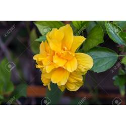 Absorbing Leaves Stock Hibiscus Yellow Leaves On Bottom Hibiscus Yellow Leaves Why Leaves Yellow Hibiscus Flower Stock Photo Yellow Hibiscus Flower