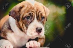 Small Of Cute Pitbull Puppies