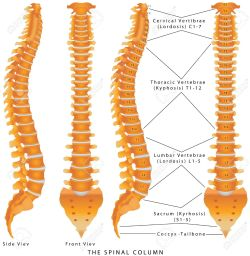 Small Of Picture Of Spine