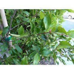 Small Crop Of Cherry Laurel Tree