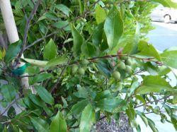 Small Of Cherry Laurel Tree