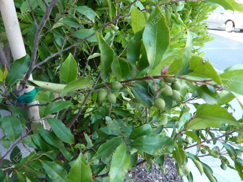 Large Of Cherry Laurel Tree