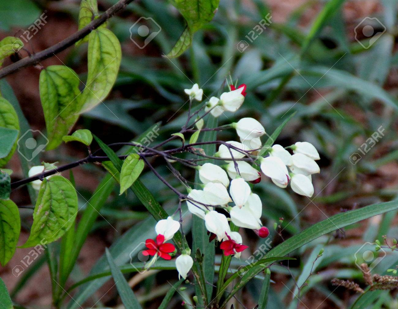 Astonishing Florida Bleeding Heart Vine S 65377922 Clerodendrum Thomsoniae Bleeding Heart Vine Bleeding Glory Flower Evergreen Vine Oblong Leaves Bleeding Heart Vine houzz-03 Bleeding Heart Vine