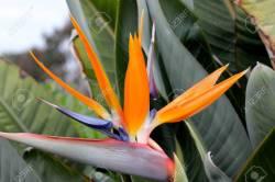 Small Of Orange Bird Of Paradise