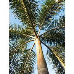 Small Crop Of Foxtail Palm Tree