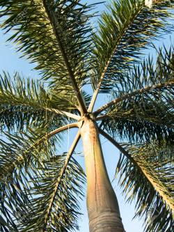 Small Of Foxtail Palm Tree