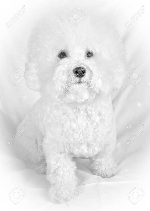 Medium Of Fluffy White Dog