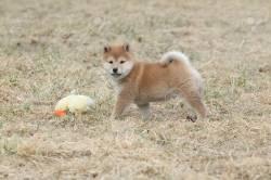 Prodigious Ny Shiba Inu Puppy On Yellow Grass Stock Photo Ny Shiba Inu Puppy On Yellow Grass Stock Shiba Inu Ny Noises Shiba Inu Ny Pics