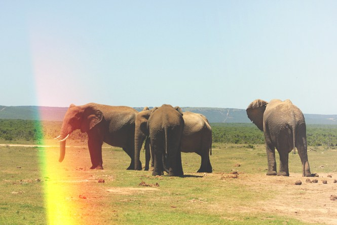 Safari - Elefantes do Addo Elephant Park