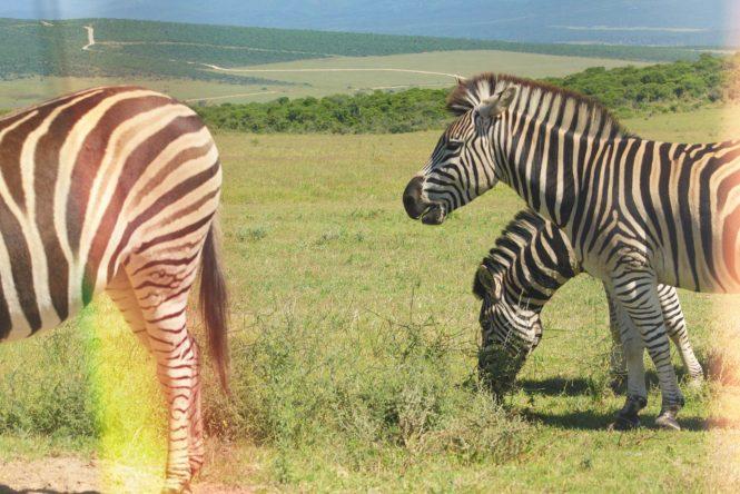 zebras no Addo Elephant Park -Safári