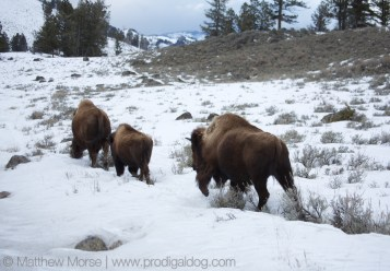 Yellowstone Winter Car Buffalo Bison