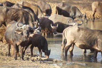 Finding Your Big Five Cape Buffalo