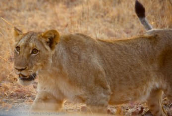 Finding Your Big Give Female Lion