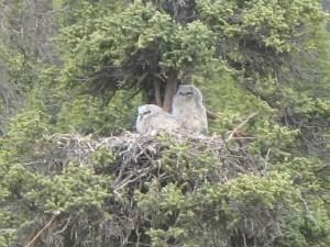 Nesting great horned owls