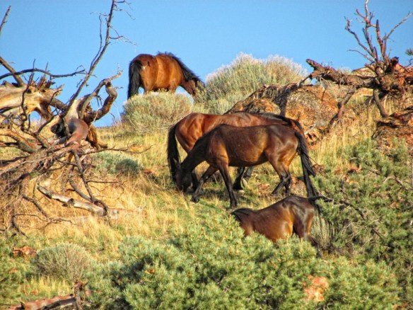 Virginia Range wild horses (Photo © Ellen Holcomb, all rights reserved.)