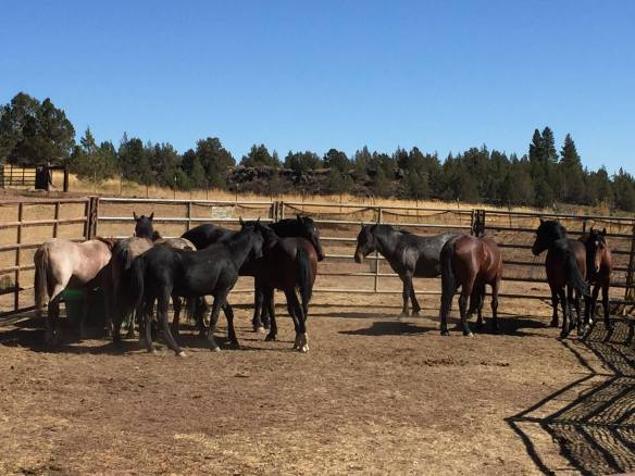 Day 2 of Devil's Garden Roundup courtesy Devils Garden Wild Horses FB Page