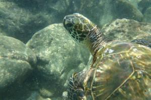 Green Sea Turtle Honu