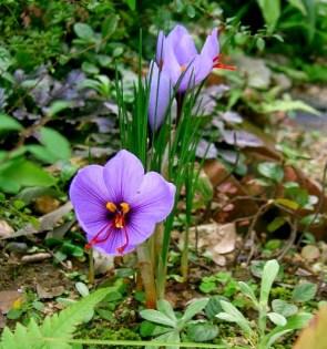 Provence Saffron Crocus
