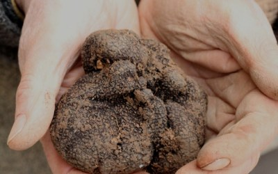 provence truffle in hands