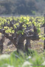 Vines at Domaine Ste Philomene