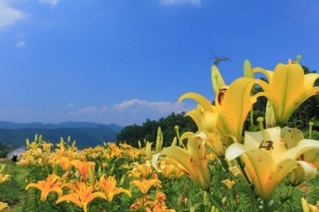一面に咲き誇るニッコウキスゲ