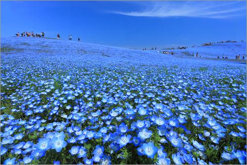 海外メディアで「日本の絶景」「日本を好きな理由」のひとつとして紹介された、ネモフィラで青く染まった丘。