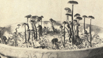 Mushroom cultures in Paris