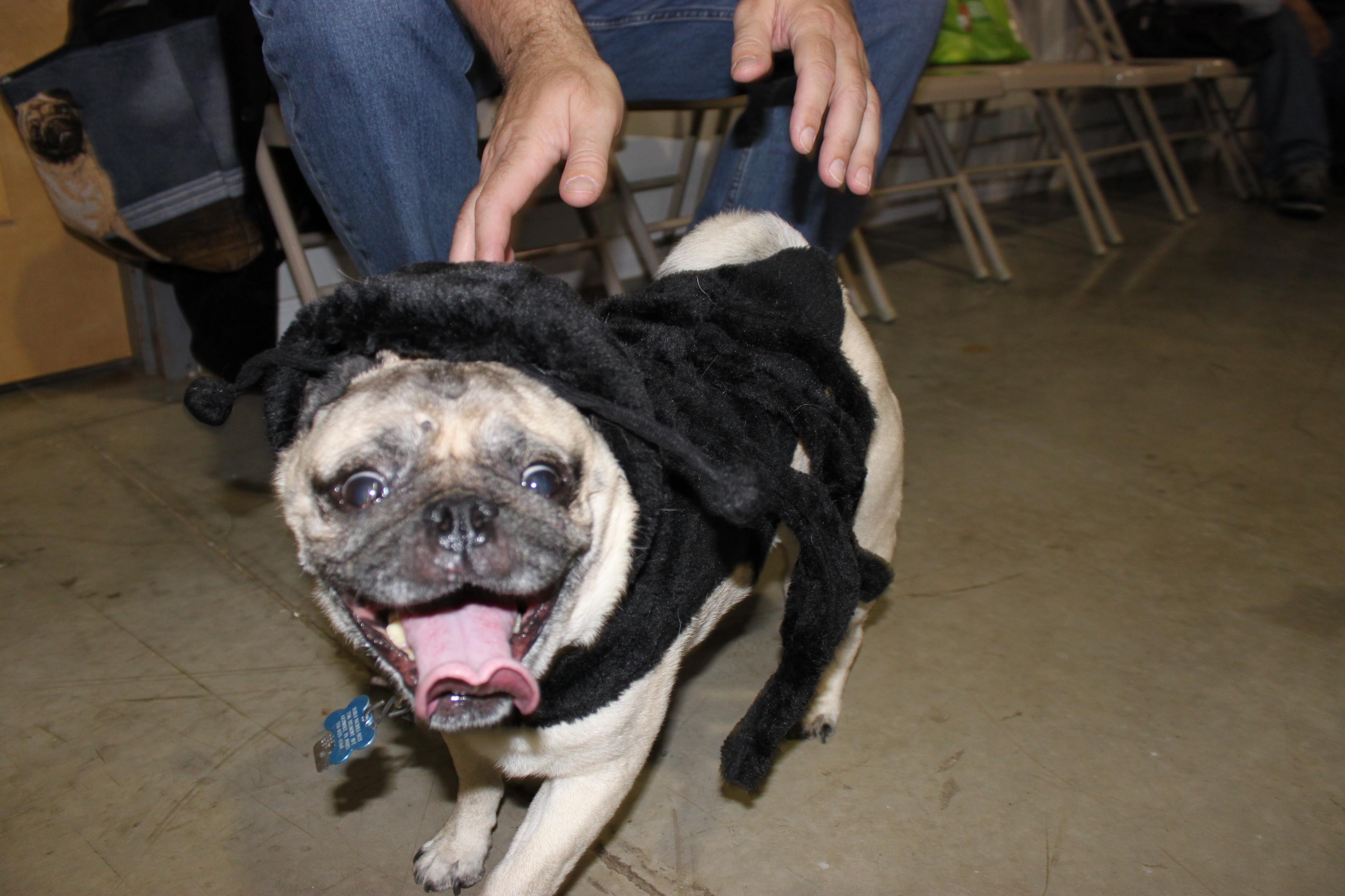 Fullsize Of Pugs In Costumes