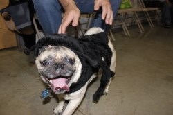 Small Of Pugs In Costumes