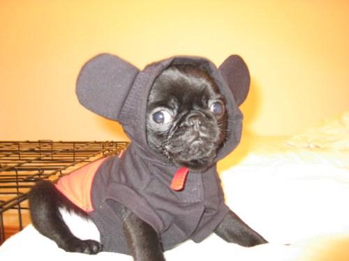 Medium Of Pug In Costume