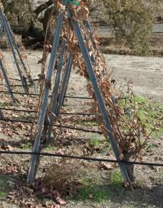 Individual vines in Ruben's Block