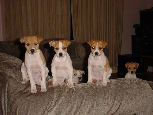 Cute funny Rat Terrier puppies - The human is walking around with one shoe. You think he suspects us