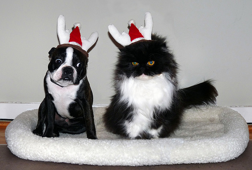 Boston Terrier and Cat wearing antlers and Santa hats