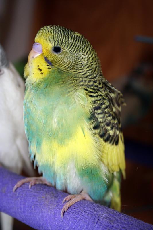 parakeet colors - photo #9