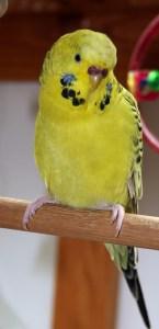 Texas Clearbody gray-green opaline American parakeet x English budgie cross