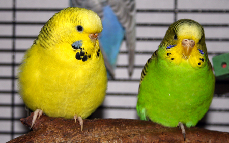 Texas Clearbody budgie parakeet