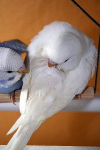 Albino American parakeet (solid white with red/pink eyes)