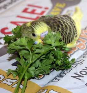Parakeet eating parsley
