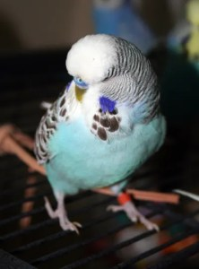 Skyblue cinnamon-wing English Budgie