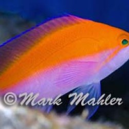 Critters - bicolor anthias 1