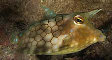Critters - thornback cowfish 1