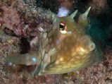 Critters - thornback cowfish 2
