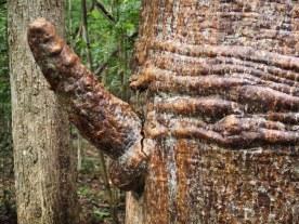 Fruchtbarkeitsbaum im Im Kirindy Reserve
