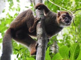 Red-Frontes Lemur im Kirindy Reserve