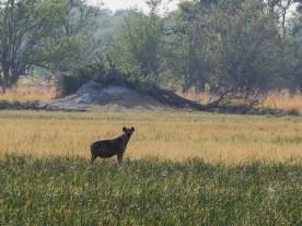 Hyäne gesichtet beim Bush Walk