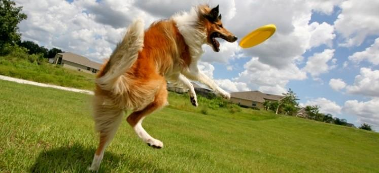 Dog-Playing-with-Frisbee-e1453302863508