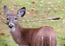 Deer with Arrow Through Its Face