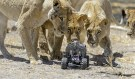 Incredible Photos of Lions Shot By Remote Controlled Camera