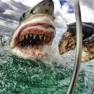 Amazing Up-close Photo Of A Great White Shark