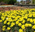 tulip-fest-2008-12